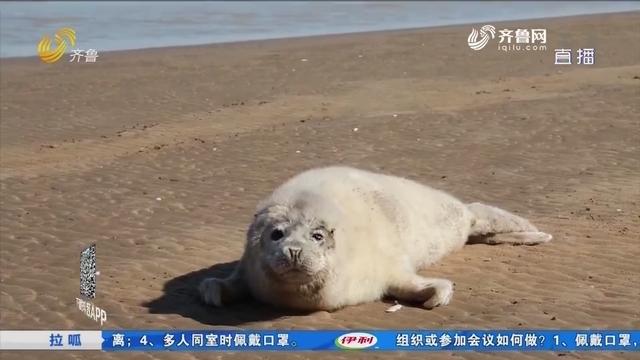 【拉呱带你耍】东营:救助小斑海豹