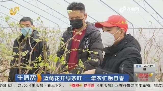 青岛:蓝莓花开绿茶旺 一年农忙始自春