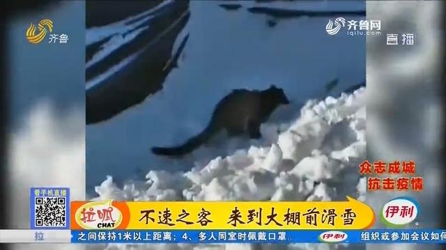 青州:不速之客 来到大棚前滑雪