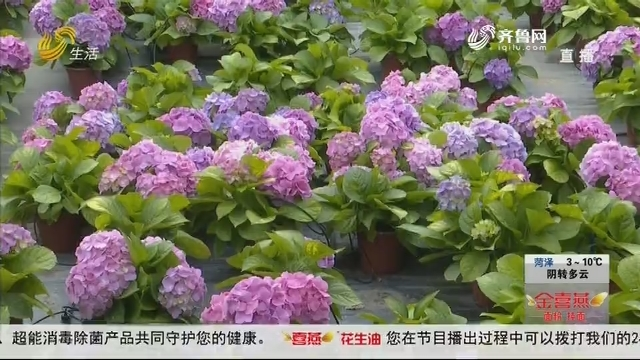 """潍坊:绣球花开正当时 种植户""""愁云满面"""""""