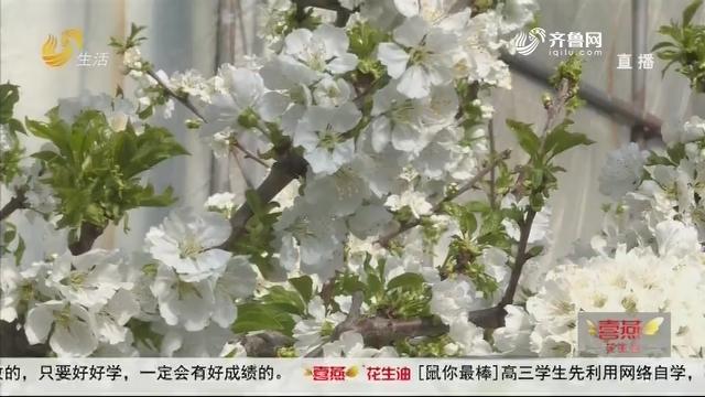 烟台龙口:大棚樱桃花开早 花团锦簇惹人爱