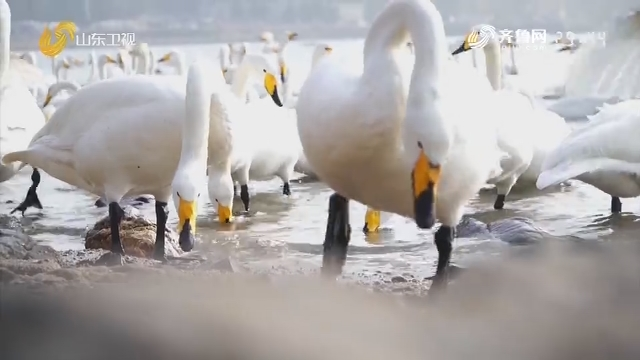 威海荣成:大天鹅迎来回迁季