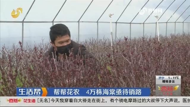 临沂:帮帮花农 4万株海棠亟待销路