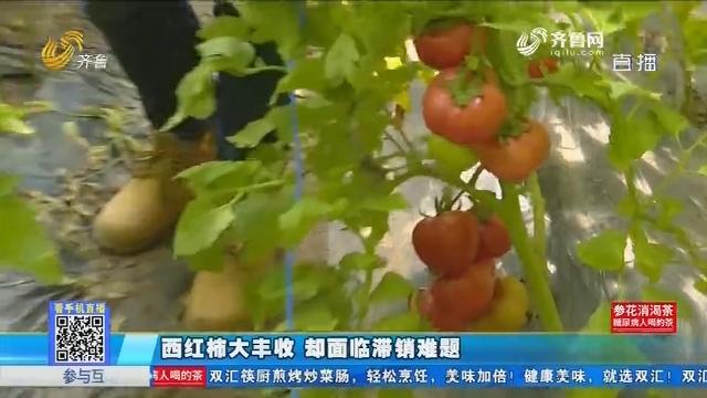 济阳:西红柿大丰收 却面临滞销难题