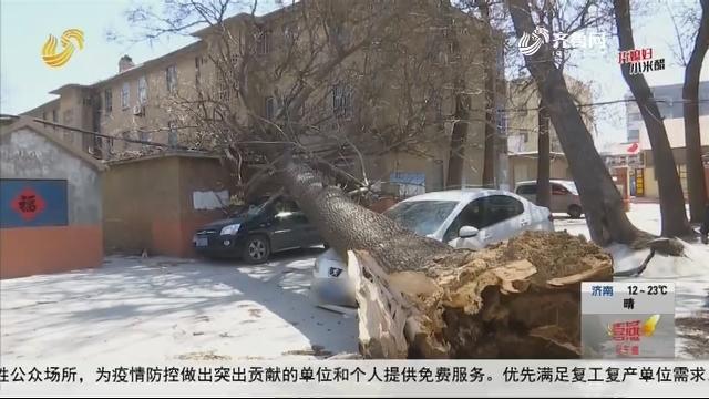 """潍坊:""""妖风""""吹倒梧桐树 砸车又砸房"""