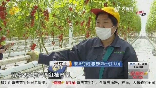 """潍坊:西红柿15元一斤 复工复产按下""""快进键"""""""
