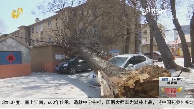 """潍坊:春风""""发狂"""" 合抱大树砸车房"""