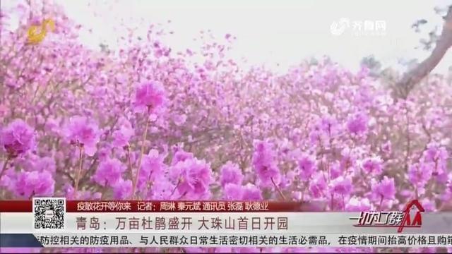 【疫散花开等你来】青岛:万亩杜鹃盛开 大珠山首日开园