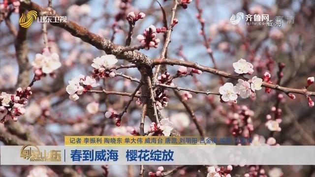 春到威海 樱花绽放
