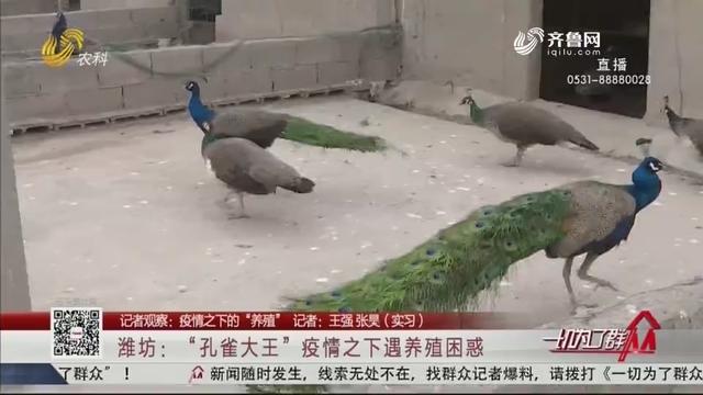 """【记者观察:疫情之下的""""养殖""""】潍坊:""""孔雀大王""""疫情之下遇养殖困惑"""