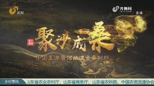 聚沙成桑——中国夏津黄河故道古桑树群