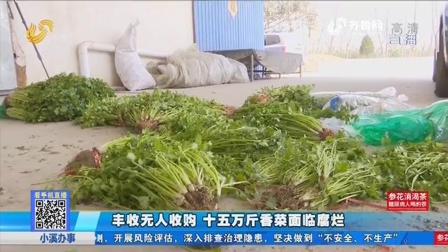 丰收无人收购 十五万斤香菜面临腐烂