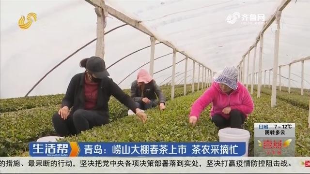 青岛:崂山大棚春茶上市 茶农采摘忙