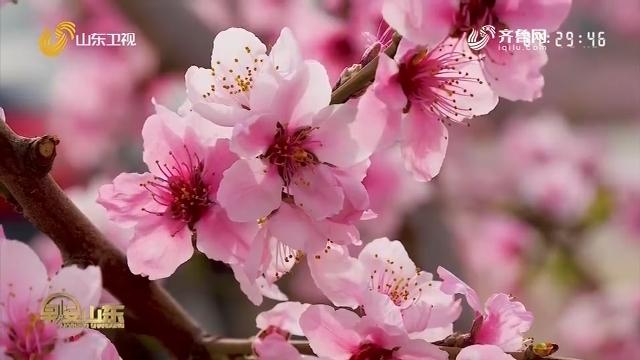 泰安肥城:桃花依旧笑春风