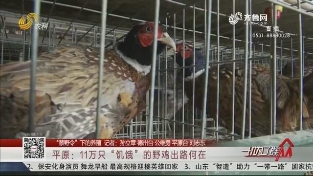 """【""""禁野令""""下的养殖】平原:11万只""""饥饿""""的野鸡出路何在"""