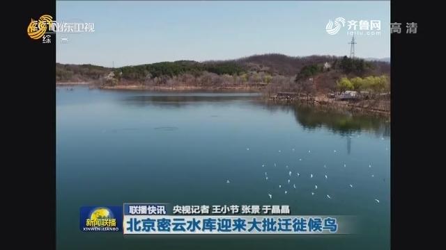 【联播快讯】北京密云水库迎来大批迁徙候鸟