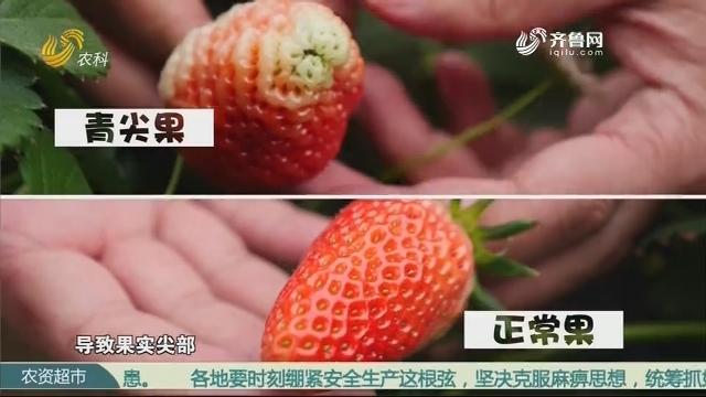 【跟着首席种草莓】草莓畸形果的防治