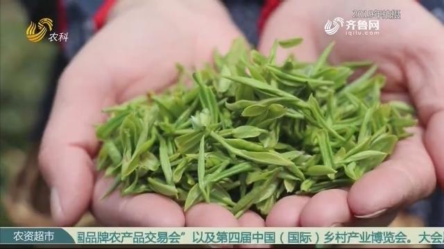 【农科大户俱乐部】云头山上的老茶味道