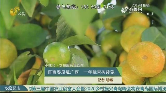 【小螺号·农技服务直通车】百亩春见进广西 一年挂果树势强