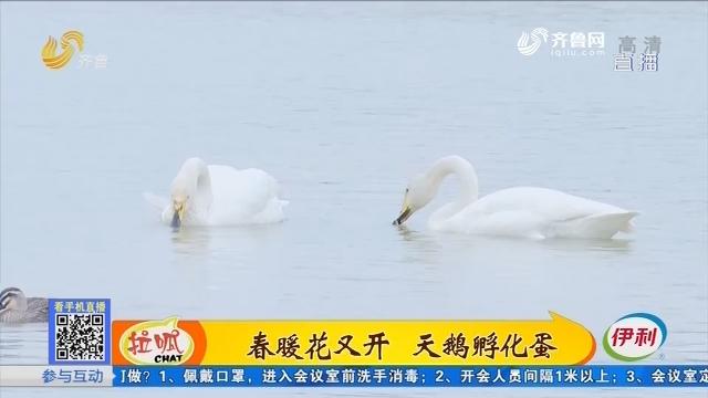 枣庄:小贼上天鹅岛 偷走5个天鹅蛋