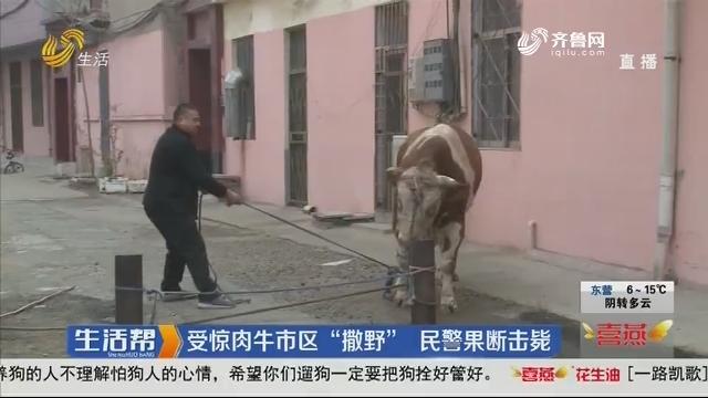 """莱芜:受惊肉牛市区""""撒野"""" 民警果断击毙"""
