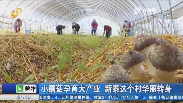 小蘑菇孕育大产业 新泰这个村华丽转身