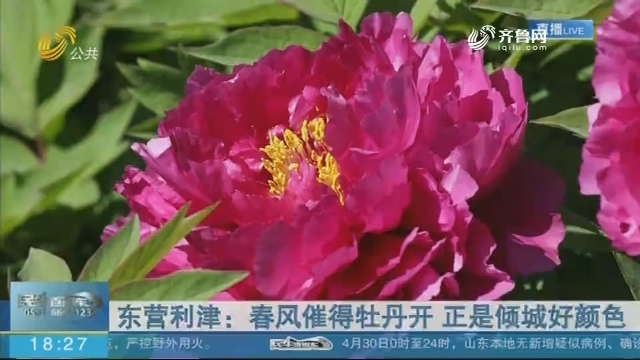 东营利津:春风催得牡丹开 正是倾城好颜色