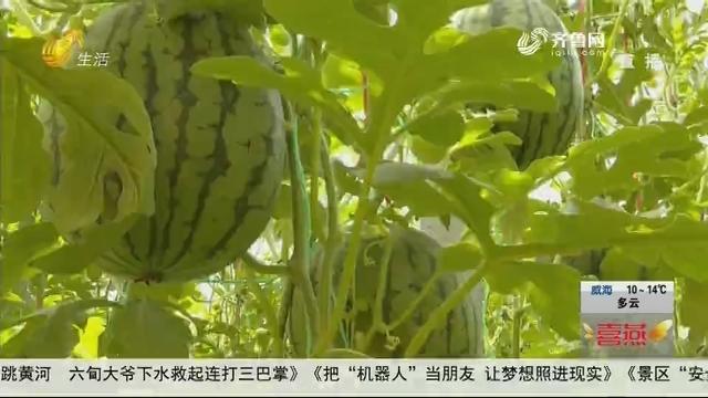 """【假期好去处】潍坊:""""悬空""""的西瓜熟了 近郊采摘""""买它""""!"""