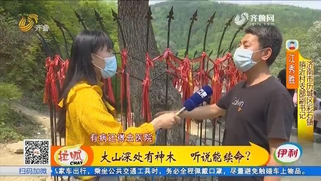 济南:大山深处有神木 听说能续命?