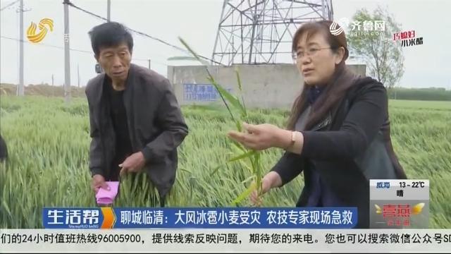 聊城临清:大风冰雹小麦受灾 农技专家现场急救