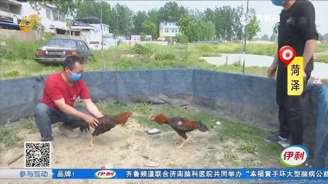 菏泽:从小喜欢斗鸡 他擅长给鸡摸骨