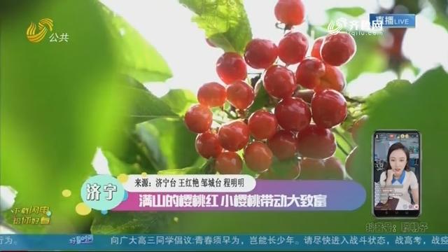 济宁:满山的樱桃红 小樱桃带动大致富