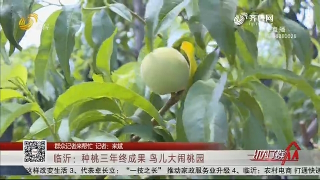 【群众记者来帮忙】临沂:种桃三年终成果 鸟儿大闹桃园