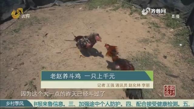 老赵养斗鸡 一只上千元