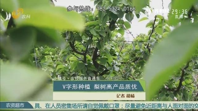 【小螺号·农技服务直通车】V字形种植 梨树高产品质优