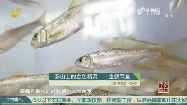 泰山上的金色精灵——金螭霖鱼