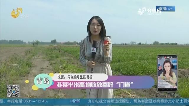 """青岛:韭菜半米高 增收致富好""""门道"""""""