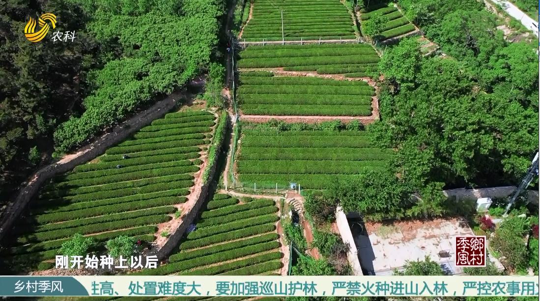 【品牌农业在山东】产值十亿的泰山茶