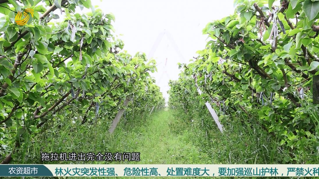 【小螺号 农技服务直通车】V字型栽培 梨树高产品质优