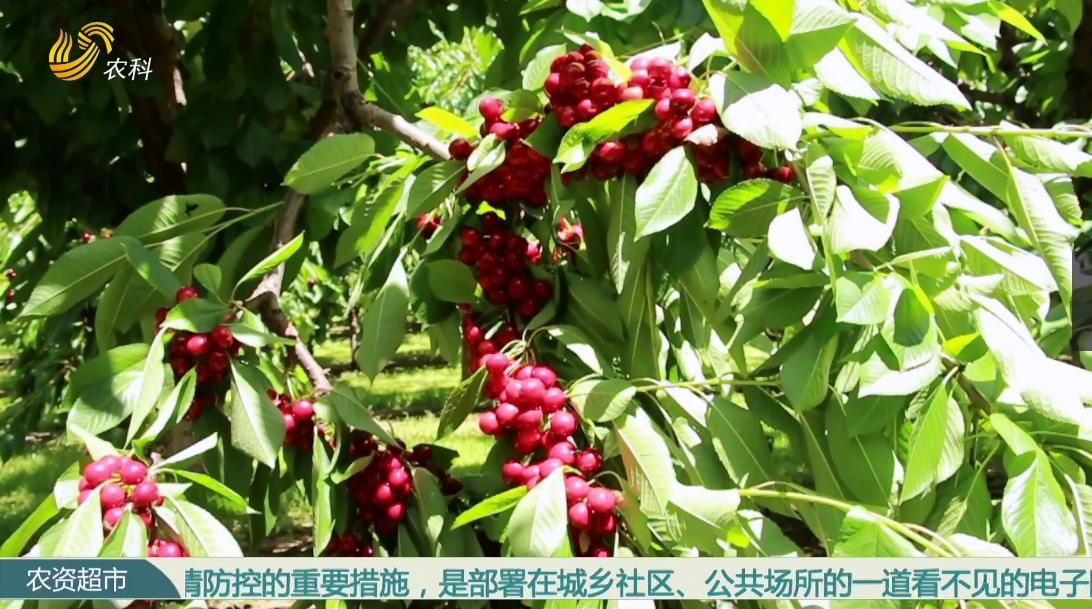 【永莲种苗走世界】新西兰樱桃(二)