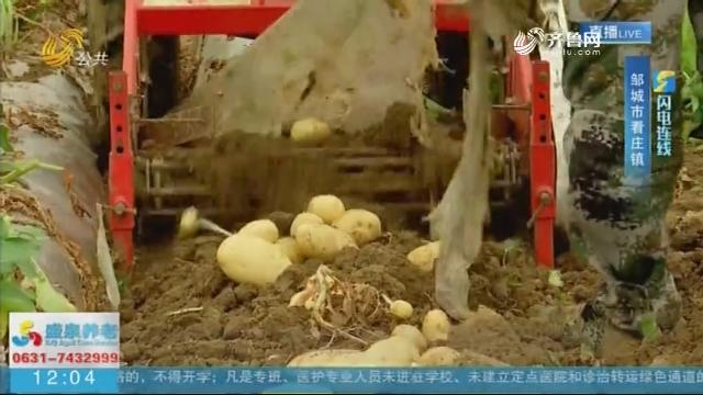 【闪电连线】邹城:产销一体 2.1万亩土豆喜获丰收
