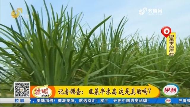 记者调查:韭菜半米高 这是真的吗?