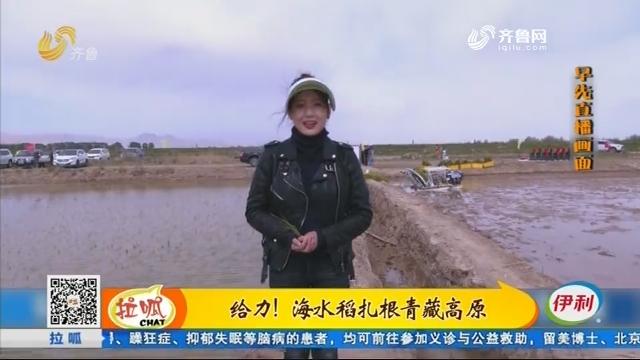 给力!海水稻扎根青藏高原