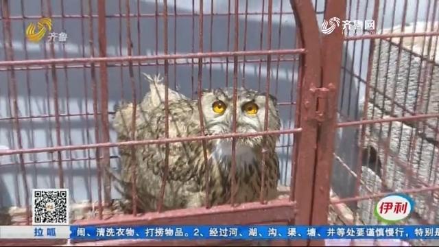 济南:凌晨进家抓鸽子吃 这猛禽是个啥鸟?