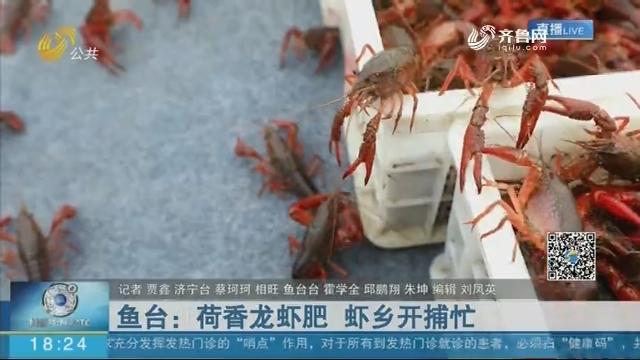 鱼台:荷香龙虾肥 虾乡开捕忙