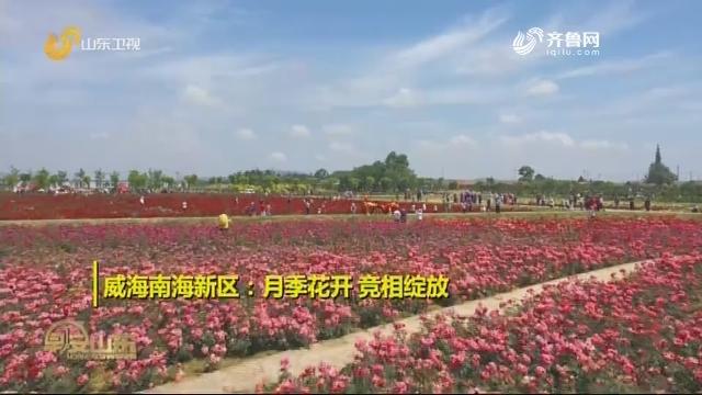 威海南海新区:月季花开 竞相绽放 潍坊青州:马鞭草花开醉游人