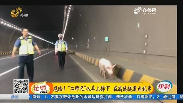 """沂源:危险!""""二师兄""""从车上摔下 在高速隧道内乱窜"""