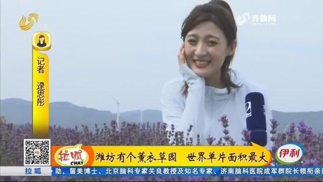 潍坊有个薰衣草园 世界单片面积最大