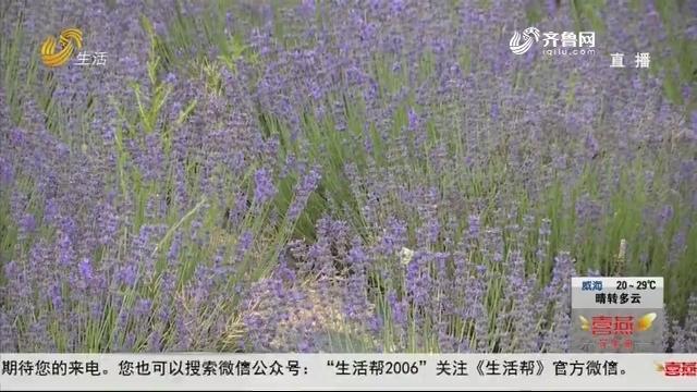 """潍坊:相约花海 薰衣草能产""""黄金油"""""""