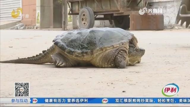 济南:街头买只龟 一养就是二十多年
